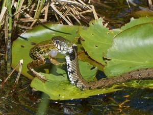 Schlangenfrass